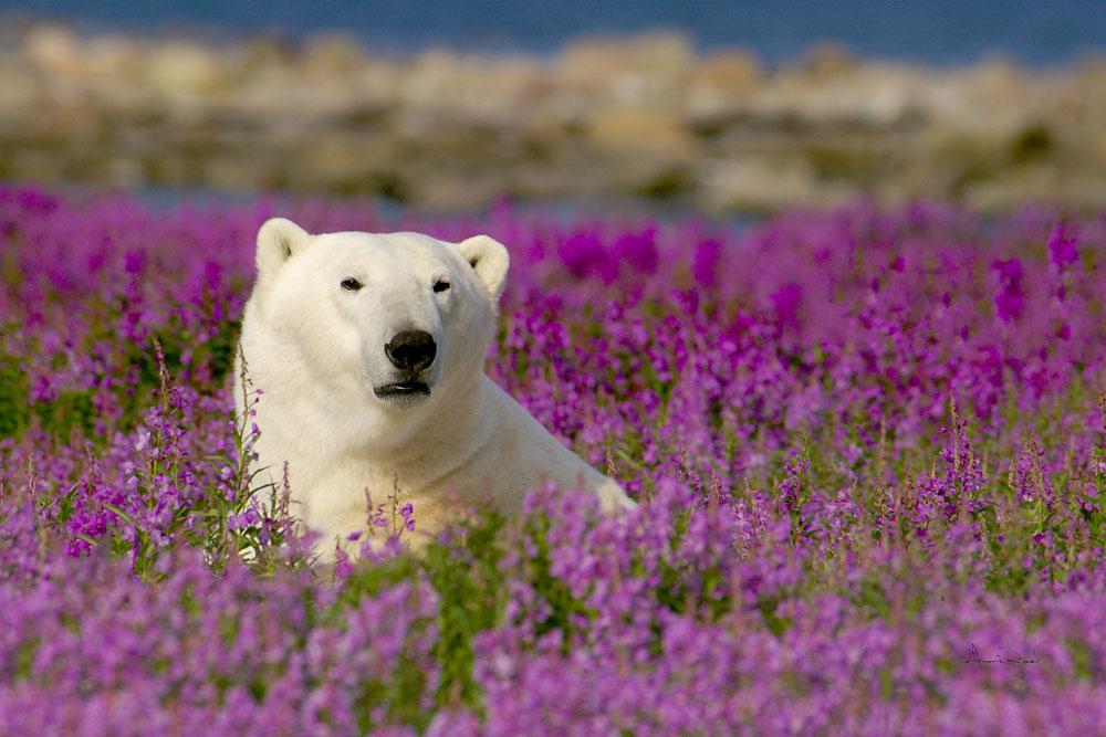 PolarBearInFireWeed1000