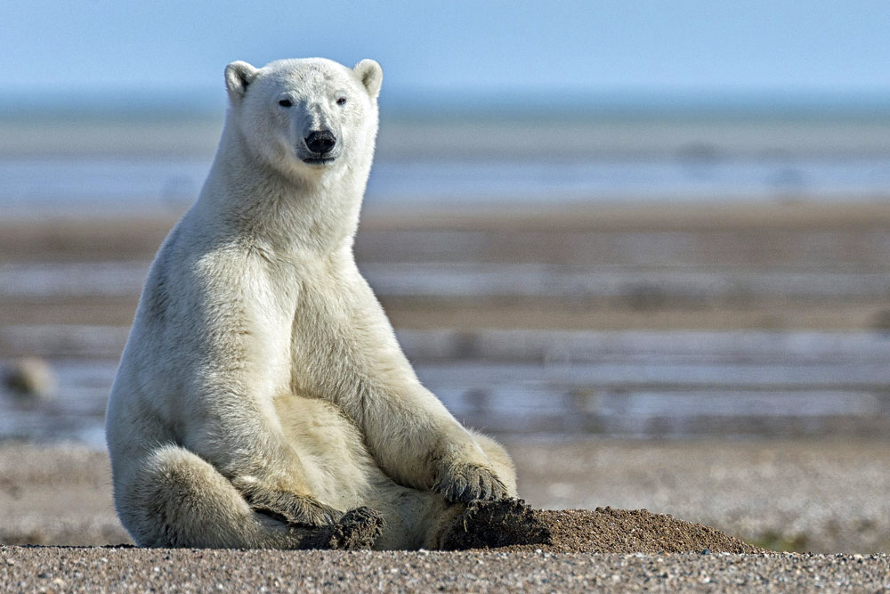 Polar bear on the flats at Nanuk Polar Bear Lodge. Photo courtesy of Robert Postma.