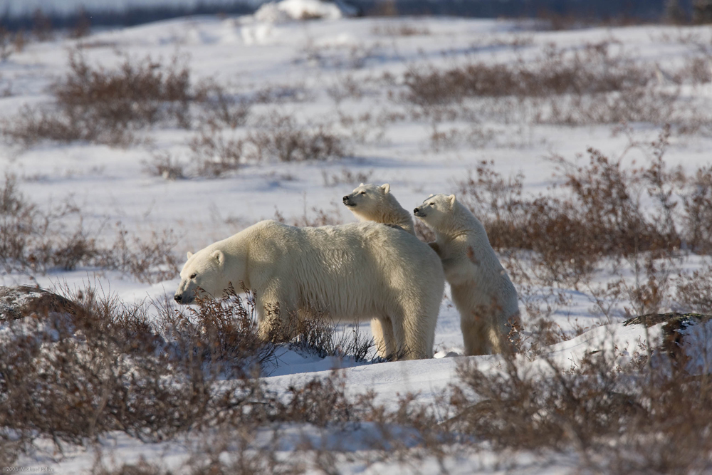 Polar bear mom and cubs. Michael Poliza photo.